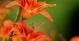 Lily Flower Powerpoint Background