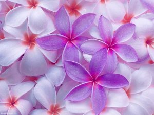 Purple Pink Flower Background for Powerpoint