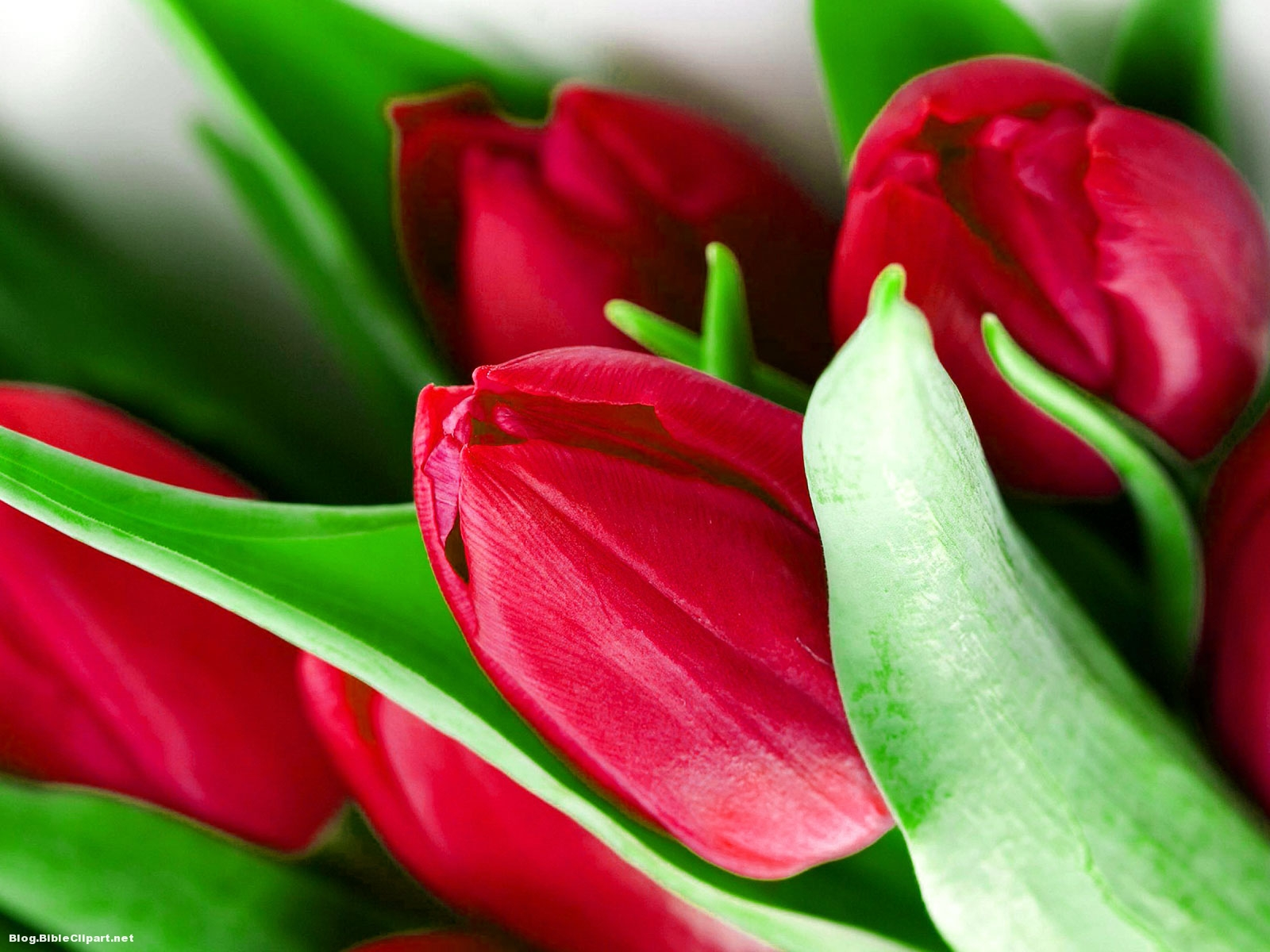 Red Tulipe Powerpoint Background
