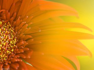 Sunflower Nature Background for Powerpoint