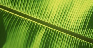 Traditional Banana Leaves Powerpoint Background